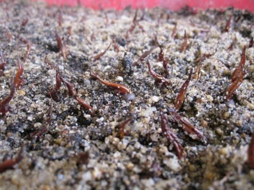 Aquilaria seed