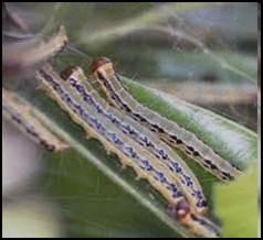 Agarwood, armyworm