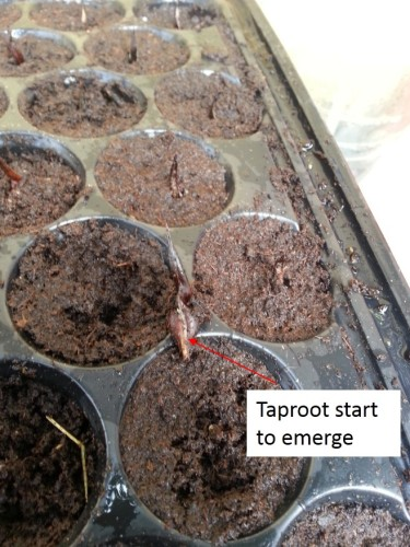 Day 9th ….. Seed start to crack …taproot start to emerge..
