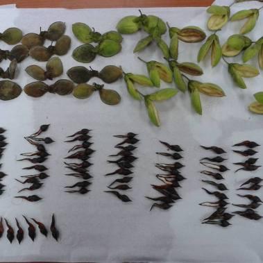agarwood-seeds