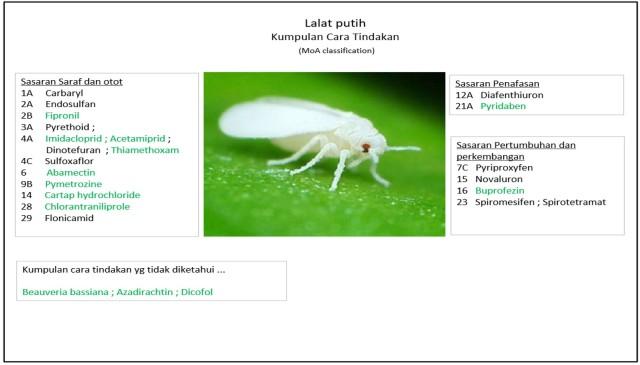 lalat-putih