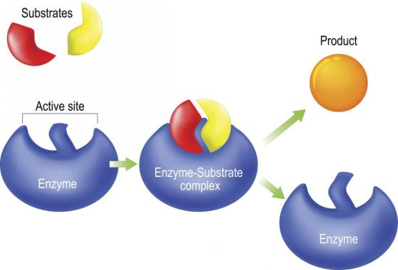 enzyme-lock-and-key-model
