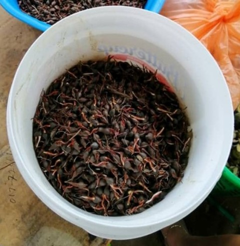 agarwood seeds