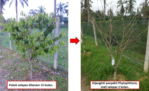 This tree was planted on ground 15 months, it was attacked by phytophthora during rainy season and died 2 months later.