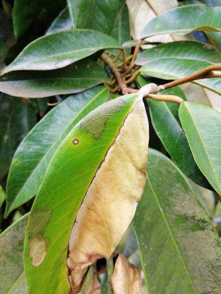 R.solani